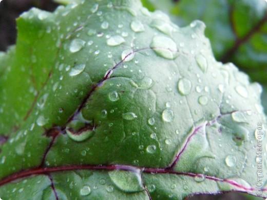 Золотой дождь и После дождя фото 2