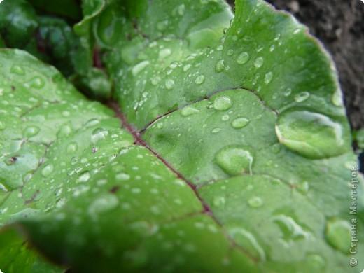 Золотой дождь и После дождя фото 3
