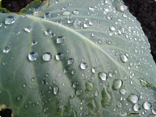 Золотой дождь и После дождя фото 4