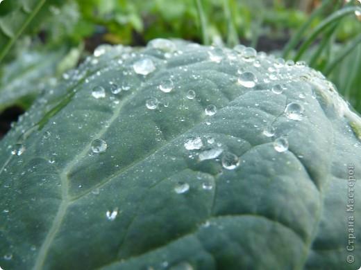 Золотой дождь и После дождя фото 6