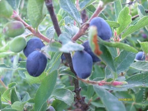 созрела самая первая на Урале ягода ........жимолость, горьковато- сладкая и необычайно ароматная ягодка.... фото 1