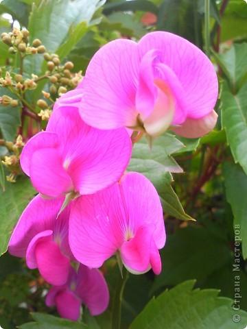 Как и обещала-продолжение темы Что это за цветок- не знаю- но красотища необыкновенная! фото 1