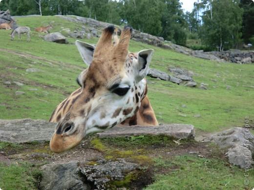 Жирафы фото 1