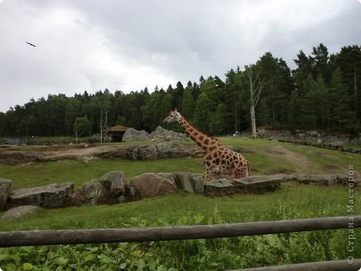 Жирафы фото 4
