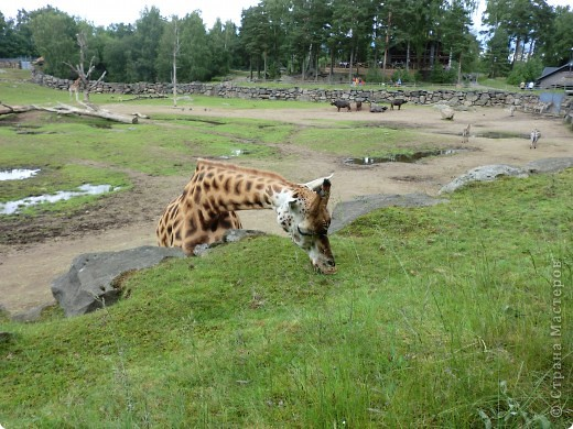 Жирафы фото 5