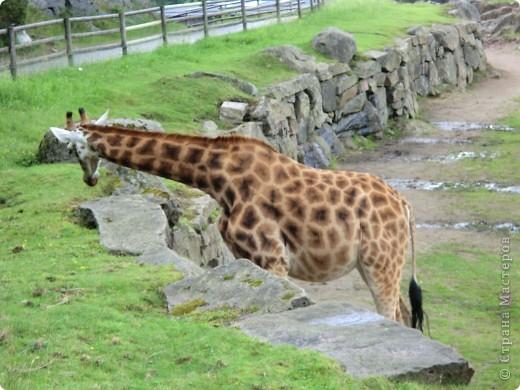 Жирафы фото 7