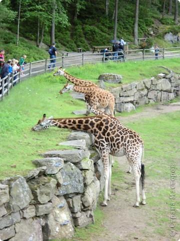 Жирафы фото 8