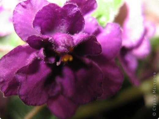 А теперь я хочу показать вам свои цветочки крупным планом.Знакомтесь- лилейники. Утром расскрывается сказочный цветок , а к вечеру от него ничего не остаётся-сьедают зелёные жуки. фото 19