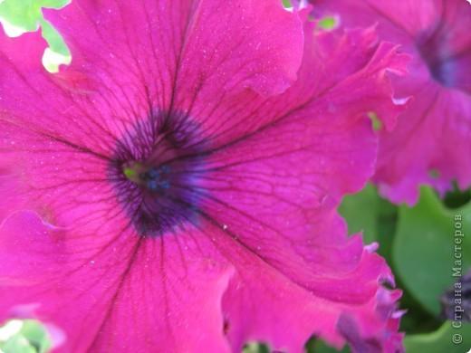 А теперь я хочу показать вам свои цветочки крупным планом.Знакомтесь- лилейники. Утром расскрывается сказочный цветок , а к вечеру от него ничего не остаётся-сьедают зелёные жуки. фото 16