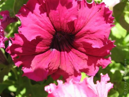 А теперь я хочу показать вам свои цветочки крупным планом.Знакомтесь- лилейники. Утром расскрывается сказочный цветок , а к вечеру от него ничего не остаётся-сьедают зелёные жуки. фото 17