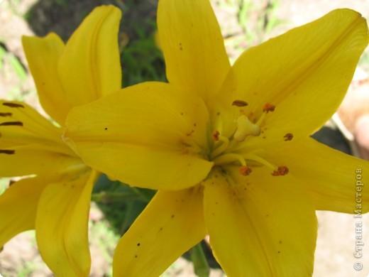 А теперь я хочу показать вам свои цветочки крупным планом.Знакомтесь- лилейники. Утром расскрывается сказочный цветок , а к вечеру от него ничего не остаётся-сьедают зелёные жуки. фото 12