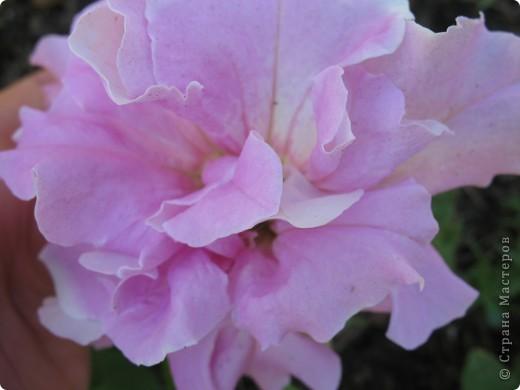 А теперь я хочу показать вам свои цветочки крупным планом.Знакомтесь- лилейники. Утром расскрывается сказочный цветок , а к вечеру от него ничего не остаётся-сьедают зелёные жуки. фото 18