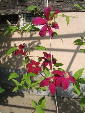 Приглашаю вас прогуляться по моему двору. Я очень люблю цветы .. Цветы растут у меня везде, где есть свободный кусочек земли. фото 17