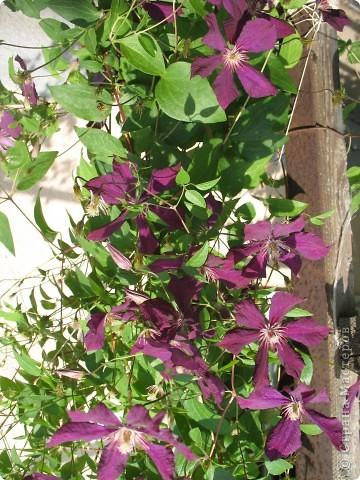 Приглашаю вас прогуляться по моему двору. Я очень люблю цветы .. Цветы растут у меня везде, где есть свободный кусочек земли. фото 14