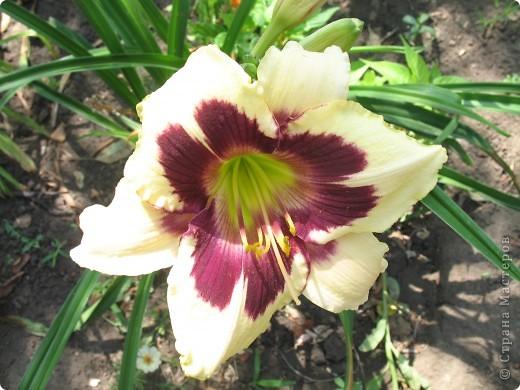 А теперь я хочу показать вам свои цветочки крупным планом.Знакомтесь- лилейники. Утром расскрывается сказочный цветок , а к вечеру от него ничего не остаётся-сьедают зелёные жуки. фото 1