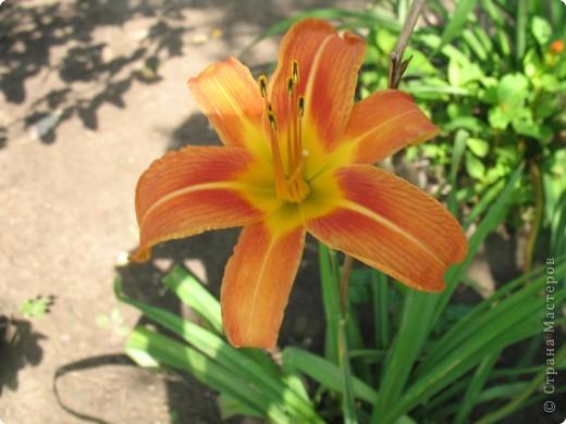 А теперь я хочу показать вам свои цветочки крупным планом.Знакомтесь- лилейники. Утром расскрывается сказочный цветок , а к вечеру от него ничего не остаётся-сьедают зелёные жуки. фото 2