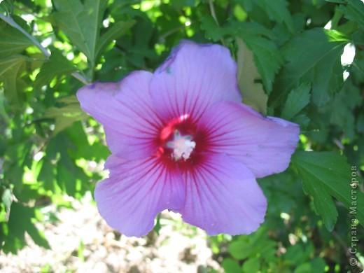 А теперь я хочу показать вам свои цветочки крупным планом.Знакомтесь- лилейники. Утром расскрывается сказочный цветок , а к вечеру от него ничего не остаётся-сьедают зелёные жуки. фото 5