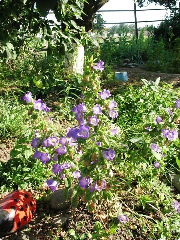 Приглашаю вас прогуляться по моему двору. Я очень люблю цветы .. Цветы растут у меня везде, где есть свободный кусочек земли. фото 16