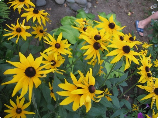 Приглашаю вас прогуляться по моему двору. Я очень люблю цветы .. Цветы растут у меня везде, где есть свободный кусочек земли. фото 19