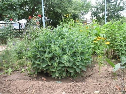 Приглашаю вас прогуляться по моему двору. Я очень люблю цветы .. Цветы растут у меня везде, где есть свободный кусочек земли. фото 11