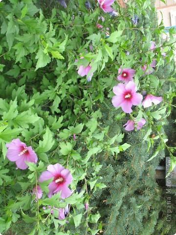 Приглашаю вас прогуляться по моему двору. Я очень люблю цветы .. Цветы растут у меня везде, где есть свободный кусочек земли. фото 18