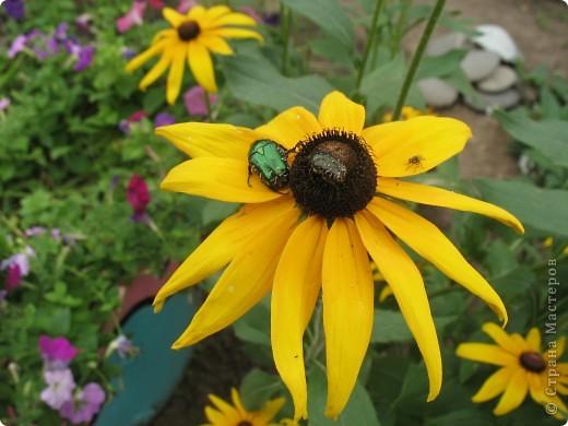 А теперь я хочу показать вам свои цветочки крупным планом.Знакомтесь- лилейники. Утром расскрывается сказочный цветок , а к вечеру от него ничего не остаётся-сьедают зелёные жуки. фото 15