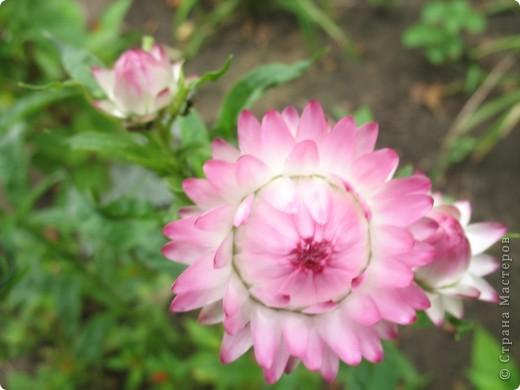 А теперь я хочу показать вам свои цветочки крупным планом.Знакомтесь- лилейники. Утром расскрывается сказочный цветок , а к вечеру от него ничего не остаётся-сьедают зелёные жуки. фото 7