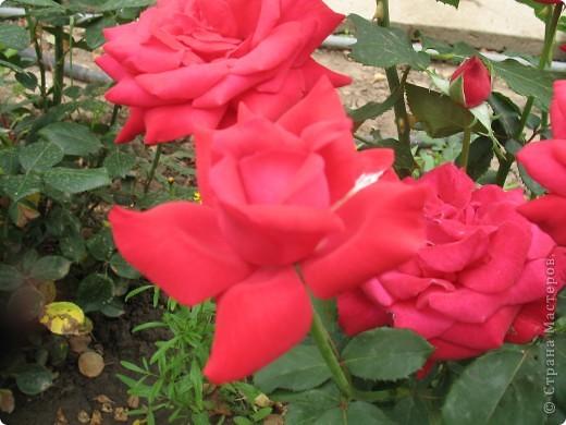 А теперь я хочу показать вам свои цветочки крупным планом.Знакомтесь- лилейники. Утром расскрывается сказочный цветок , а к вечеру от него ничего не остаётся-сьедают зелёные жуки. фото 13