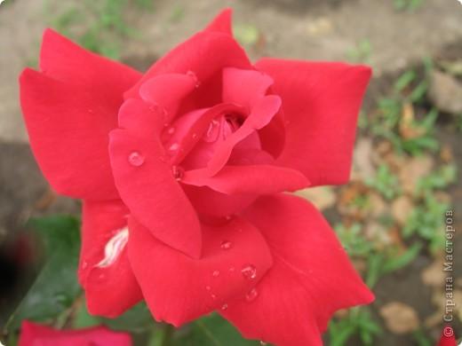 А теперь я хочу показать вам свои цветочки крупным планом.Знакомтесь- лилейники. Утром расскрывается сказочный цветок , а к вечеру от него ничего не остаётся-сьедают зелёные жуки. фото 14