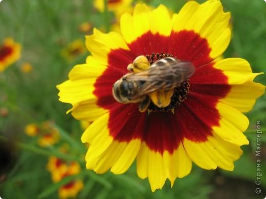 А теперь я хочу показать вам свои цветочки крупным планом.Знакомтесь- лилейники. Утром расскрывается сказочный цветок , а к вечеру от него ничего не остаётся-сьедают зелёные жуки. фото 8