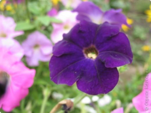 А теперь я хочу показать вам свои цветочки крупным планом.Знакомтесь- лилейники. Утром расскрывается сказочный цветок , а к вечеру от него ничего не остаётся-сьедают зелёные жуки. фото 20