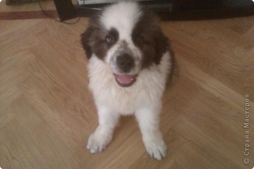 Это мой мальчик Зерси, порода шар-пей, когда мы его только купили, здесь ему 4 месяца фото 10