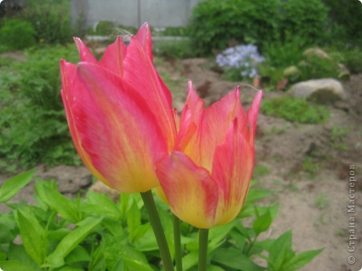 Очень люблю тюльпаны! Особенная моя любовь - махровые ранние.Тюльпан сорта Монселла. цветы - просто огромные! До 14 см диаметром. Вот так всегда широко раскрыты к солнышку. У них еще и сильный приятный запах. фото 15