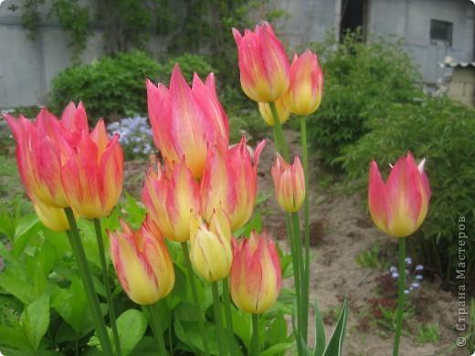 Очень люблю тюльпаны! Особенная моя любовь - махровые ранние.Тюльпан сорта Монселла. цветы - просто огромные! До 14 см диаметром. Вот так всегда широко раскрыты к солнышку. У них еще и сильный приятный запах. фото 16