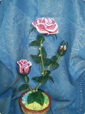 Кустик розы
