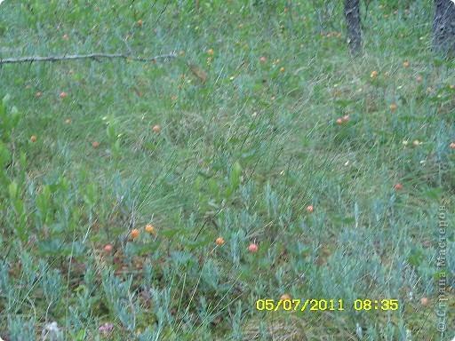 Ну и что что у нас кругом болота-зато ягод всяких....это морошка фото 1