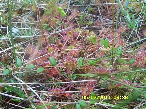 Ну и что что у нас кругом болота-зато ягод всяких....это морошка фото 7