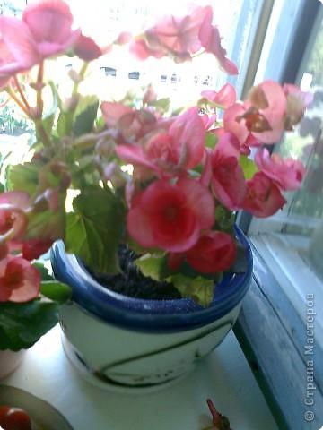 Мои комнатные цветики. фото 3
