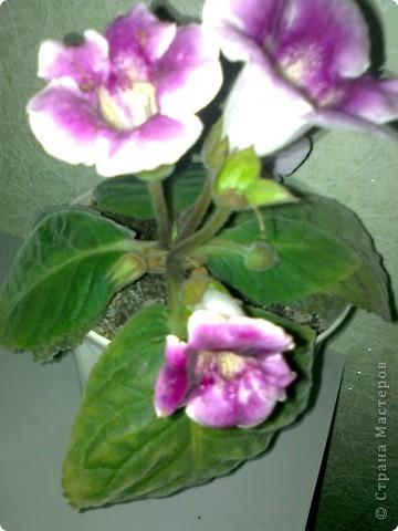 Мои комнатные цветики. фото 5