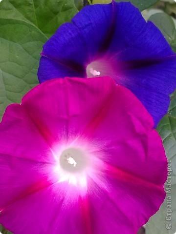Раньше думала, что это только капостный сорняк, но увидев эти цветы мнение поменяла на кардинально противоположное. Они меня пленили своей простотой и изяществом. Приглашаю и Вас полюбоваться на это буйство красок. фото 4