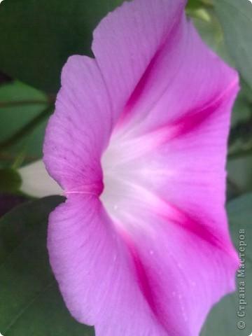 Раньше думала, что это только капостный сорняк, но увидев эти цветы мнение поменяла на кардинально противоположное. Они меня пленили своей простотой и изяществом. Приглашаю и Вас полюбоваться на это буйство красок. фото 8