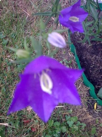 Ирисы цвели весной. фото 9