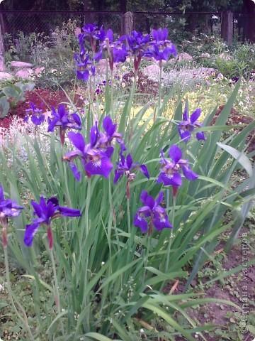 Ирисы цвели весной. фото 1