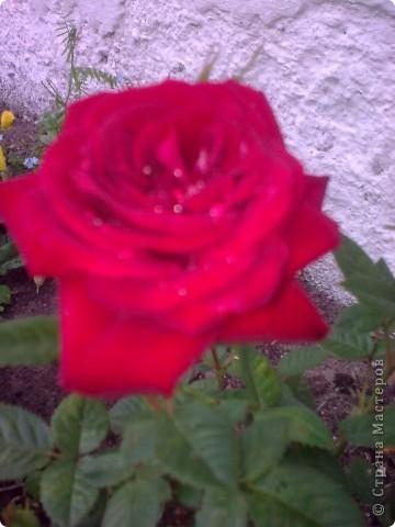 Ирисы цвели весной. фото 6