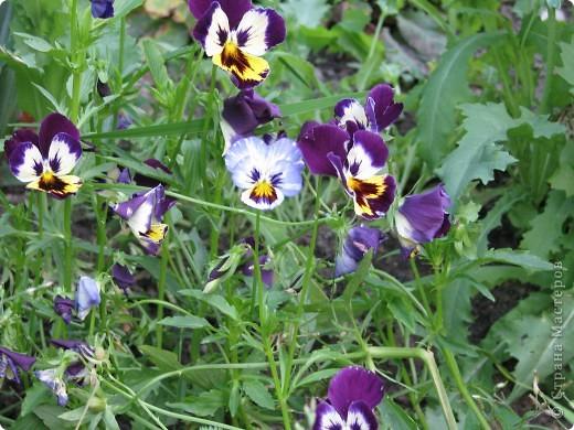 Ирисы цвели весной. фото 15