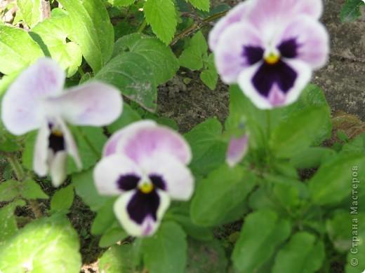 Ирисы цвели весной. фото 16