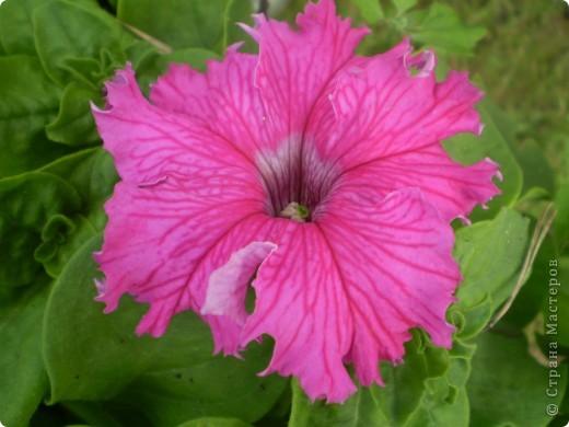 Цветы, все эти цветы вырастила моя мама. Правда, я не знаю название всех цветов, но если нужно, вечером смогу написать их названия.  На фото тюльпаны. фото 5