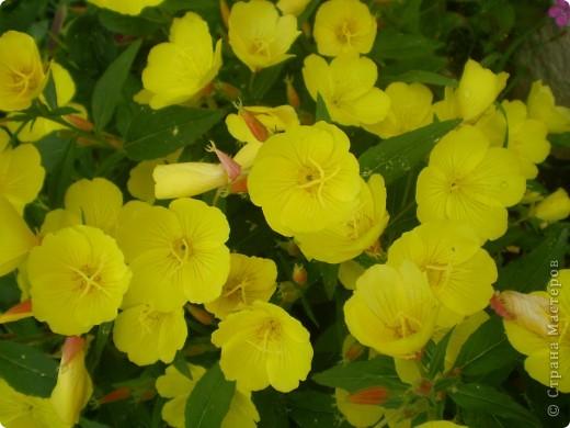 Цветы, все эти цветы вырастила моя мама. Правда, я не знаю название всех цветов, но если нужно, вечером смогу написать их названия.  На фото тюльпаны. фото 6