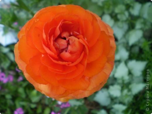 Цветы, все эти цветы вырастила моя мама. Правда, я не знаю название всех цветов, но если нужно, вечером смогу написать их названия.  На фото тюльпаны. фото 8