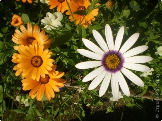 Цветы, все эти цветы вырастила моя мама. Правда, я не знаю название всех цветов, но если нужно, вечером смогу написать их названия.  На фото тюльпаны. фото 9